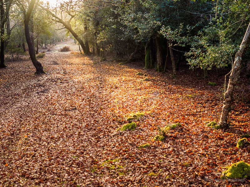 New Forest #5