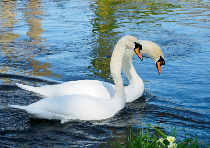 Swans on the River Test