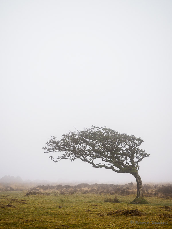 Windswept tree in the mist