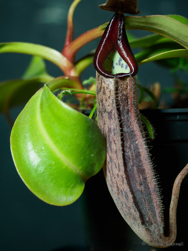 Pitcher plant in visible light