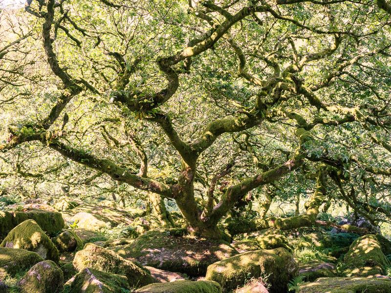 Wistman's Wood #1