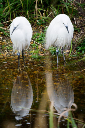 Egrets (?)